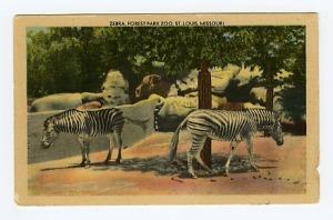 zebra postcard, front view